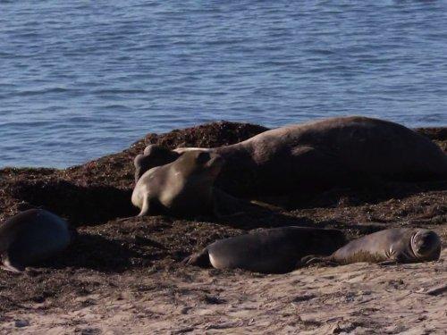 Ocean Mysteries - Elephant Seals