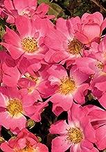 1 Gallon - Pink Drift Rose - Blooming Groundcover Shrub