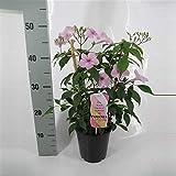 Pandorea jasminoides Pink House Plant 15cm Pot