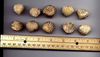 Best fossilized clam shell Reviews