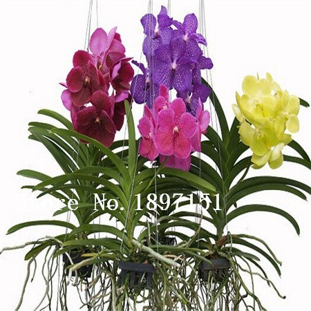 Grande vente Bonsai balcon graines de fleurs papillon orchidées graines d'orchidées phalaenopsis -100 pcs graines Beau jardin