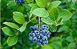 ZJZNB Peinture par Numéros Kits Blueberry pour Adultes Débutant Enfants Cadeaux 16X20 Pouces (sans Cadre)