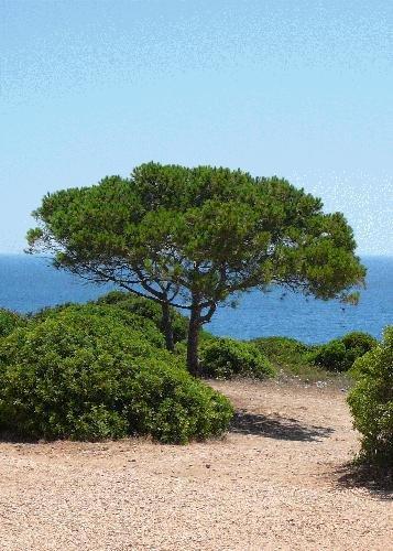 TROPICA - Pin parasol (Pinus pinea) - 6 graines- Méditerranée
