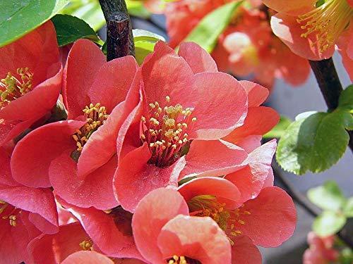 Graines Begonia, Malus Spectabilis graines en pot, semences Begonia Fleur, variété complète, couleurs mélangées - 50 Pcs / Sac