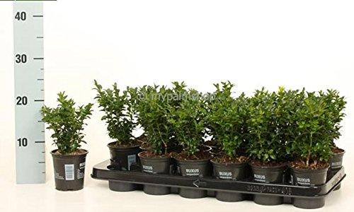 Buchsbaum Heckenbuchs - Buxus sempervirens - Heckenpflanze - Größenauswahl (15-25cm - Topf 0,5Ltr. - 10 STÜCK)