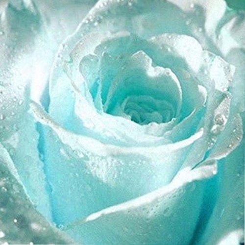 Ncient 20/50 pcs/Sac Graines Semences de Fleurs Rosier, Bleu Rose Seed Plantes Vivaces Graines à Planter Plante Rare Bonsaï de Jardin Balcon (20 Pcs)