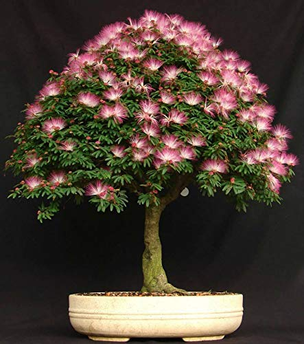 ANVIN Seeds Package: Persian Silk Seed Seeds - Albizia Julibrissin Bonsai USA - BKSeeds