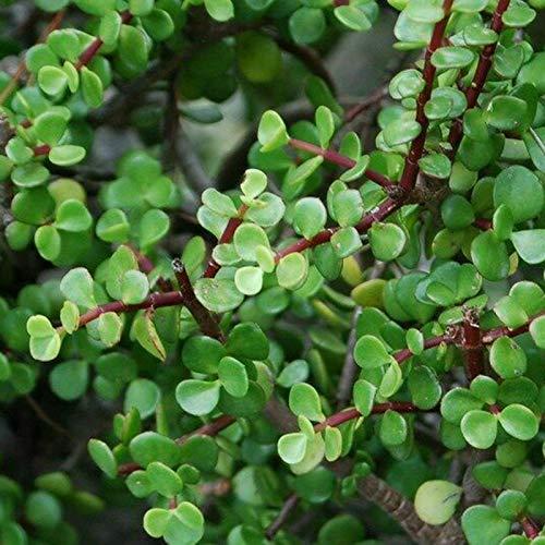 TENGGO Egrow 100 Unids/Pack Suculenta Semillas Bonsai Portulacaria Jade Enano para el Jardín de su Casa Planta