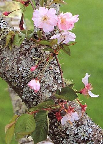 TROPICA - Cerisier du japon (Prunus serrulata) - 30 graines- Résistant au froid