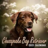 Chesapeake Bay Retriever 2021 Calendar: 8.5 x 8.5 Perfect for Notes and Planning, Monthly and Weekly