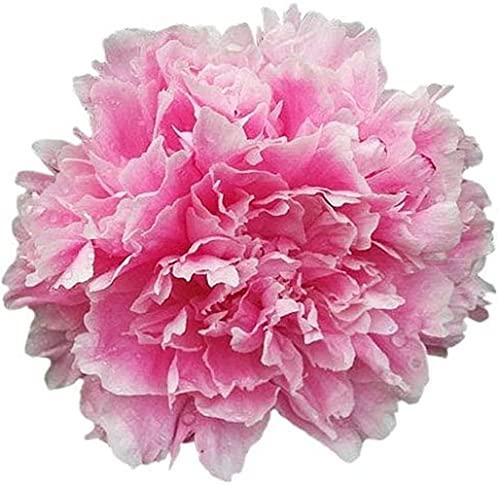 CHTING 30Pcs Pink Peony Seeds...
