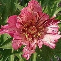 赤い牡丹球根魅力的な草本植物香りのよい庭の装飾再咲き,2球根