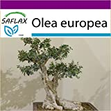 SAFLAX - Big Garden - Bonsai - Ölbaum - 20 Samen - Mit Gewächshaus, Töpfen, Anzuchtsubstrat und Dünger - Olea europea