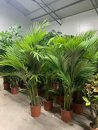 Alexandrapalme 160-180 cm - Archontophoenix alexandrae - Feuerpalme - Grünpflanze