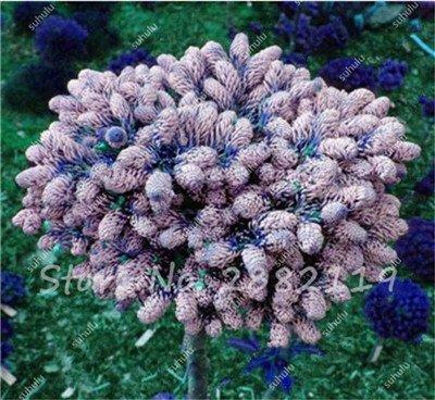 30 Pcs rares couleur coréenne sapin graines, Abies Koreana « Silberperle » Miniature coréenne Sapin Bonsai Fleur Arbre Jardin Plante en pot frais 11