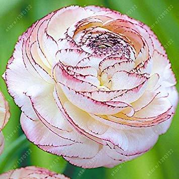 prime vista Echte Ranunkelzwiebeln, Schöne Topfpflanzen Blumenzwiebeln, (Ranunkel Samen), mehrjährige Bonsai Bauchige Wurzel Gartenpflanze - 1 Stück 10