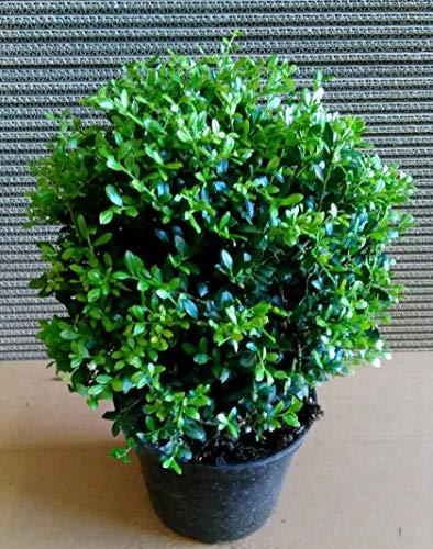2 Ilex crenata Glorie Gem, Kugel Durchmesser: 20-25 cm, ähnlich Buchsbaum + Dünger