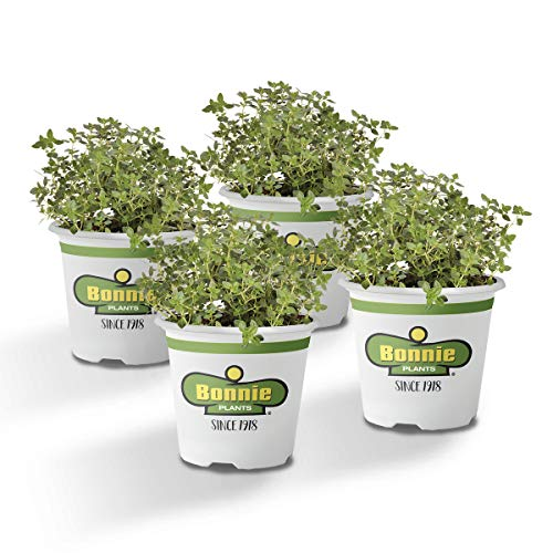 Bonnie Plants 4P5116 Lemon Thyme Live Herb Plants - 4 Pack | Perennial In Zones 7 to 9 | |, to Give Dishes Flavor, Brown/A
