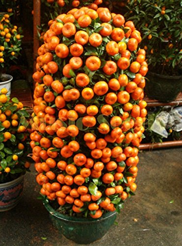1bag = Kumquat Graines d'orange 50pcs Balcon Patio Lots en pot Fruits savoureux arbres Graines orange juteuse pour la maison et le jardin