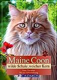 Maine Coon: Wilde Schale, weicher Kern (Cadmos Heimtierbuch) - Kerstin Malcus