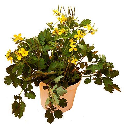 Schöllkraut (Chelidonium majus)