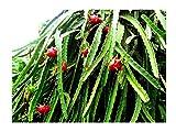 Drachenfrucht Hylocereus undatus Pflanze 5-10cm Pitaya Pitahaya Kaktus