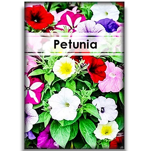 1000Pcs Petunia Seeds Planting Outdoors Mix Rare Most Popular Bonsai Planting Home Garden Floral Decoration Perennial Vine Type Petunia Seed