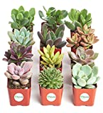 Shop Succulents | Unique Collection of Live Succulent Plants, Hand Selected Variety Pack of Min…