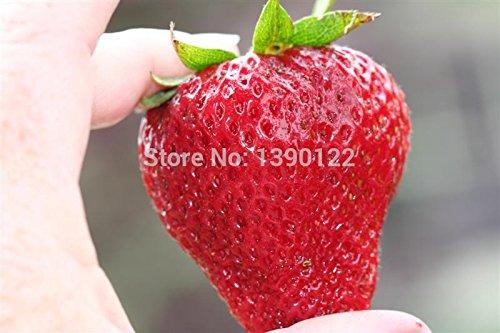 1000pcs Allemagne super-grandes graines de fraises, graines de fruits, matériel de jardin, plantes bonsaï