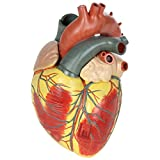 Axis Scientific Large Human Heart Model, 3x Life-Size, 3-Part Numbered Anatomical Heart Il...