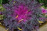 SAGEAWAY Floración Kale Semillas Col rizada Ornamental del Pavo Real Rojo