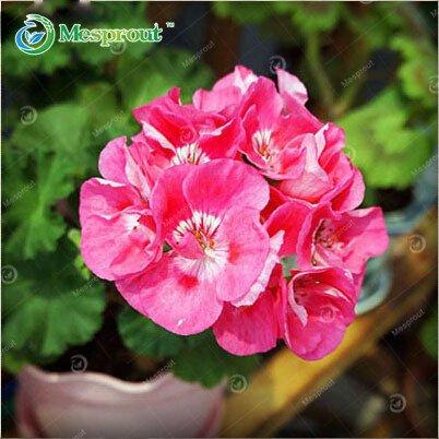 1 Graines d'origine Paquet 50pcs Violet Mini Bellflower, Perennial jardinage en plein air