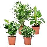 4er Set 'Fresh' | Tropische Zimmerpflanzen Set | Vier Grünpflanzen | Höhe 25-30 cm | Topf-Ø 12 cm