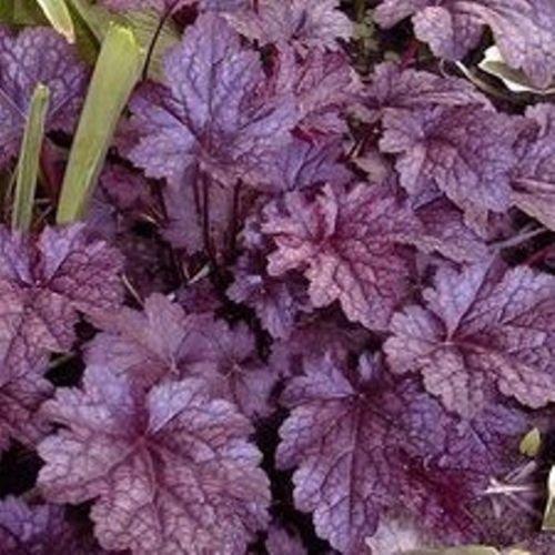 Heuchera Plum Pudding Purple Alum Coral Bells 2.5