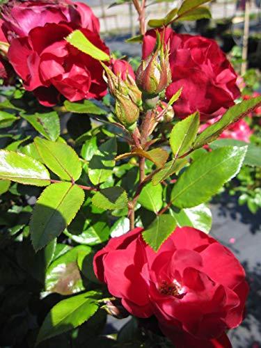 Baumschule Pflanzenvielfalt Rosa Milano® - Stammrose Milano®