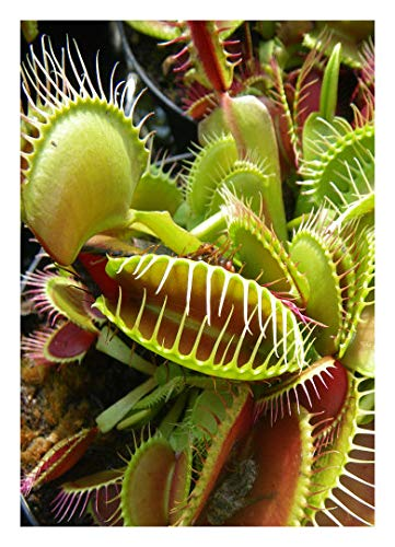 "Venus-Fliegenfalle"" B-52"" / 10 Samen/inkl.Karnivorenerde (Dionaea muscipula)"