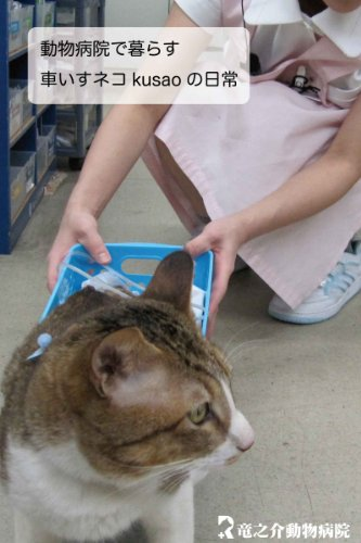 Every day of the wheelchair cat kusao which lives in an animal hospital kusao blog (Japanese Edition)