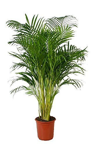 Or Fruit Palmier Areca env. 110?cm de haut, palmier Areca, (Chry salido carpus) Chambres Chambre Palmier, plante
