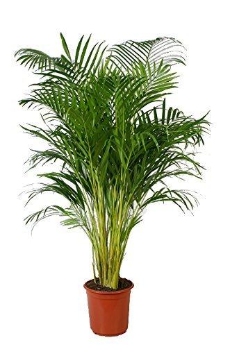 Goldfruchtpalme, Areca Palme, (Areca Chrysalidocarpus) Zimmerpalme, Zimmerpflanze, (ca. 110cm hoch, im 21cm Topf)