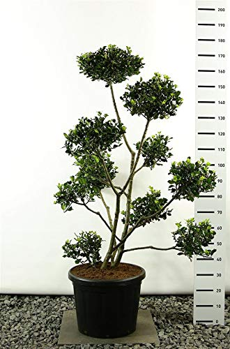 Ilex meserveae 'Blue Prince' Pon Pon - Stechpalme - Formschnitt - Formgehölz - Multiplateau - Größenauswahl (150-170 cm 20 Liter Topf)