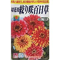 絞り咲 百日草 (804)