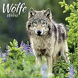 Wölfe 2020: Broschürenkalender mit Ferienterminen. Fasziniernde Bilder von Wölfen. 30 x 30 cm