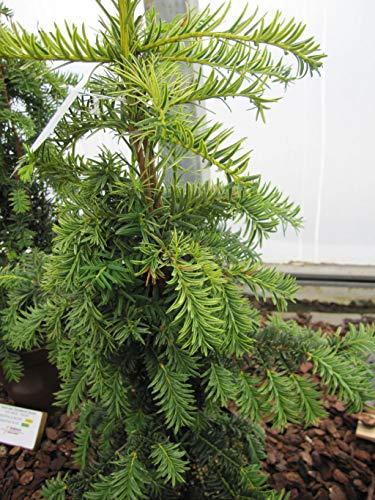 Taxus baccata dovastoniana Aurea - gelbe...