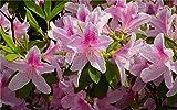 honic 20 pezzi albero azalea azalea fiori per giardino di casa fai da te bel fiore per fioriere vaso di fiori: 4
