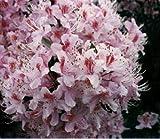 vegherb 25+ Rhododendrun Rosebay Graines/Fleurs, arbustes, Arbres/Ombre Aimer Vivace