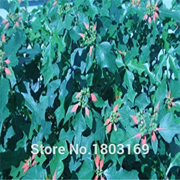 Fash Lady 100 pcs/bag, graines de poinsettia, Euphorbia pulcherrima, plantes en pot, saisons de plantation, plantes à fleurs