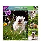 Bulldogge 2021 – Kalender AFFIXE (ENGLISH BULLDOG)