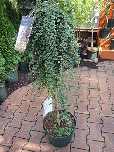 Cotoneaster dammerii Winterjuwel - Teppichmispel Winterjuwel - Veredelung auf 90 cm Hochstamm -