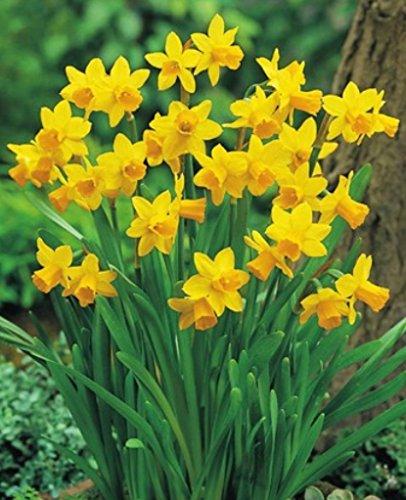 50 Narzissen mehrblütig Tete a Tete Blumenzwiebeln Narcissus