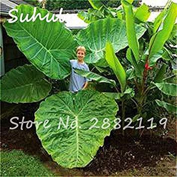 Vista 20 Stück Heirloom Alocasia Macrorrhiza Samen seltenen grünen Riesen Taro mehrjährige Blume Elefantenohren Verkauf Hausgarten Pflanzen einfach wachsen 3